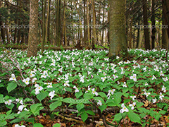 Spring photo - trilliums in bloom